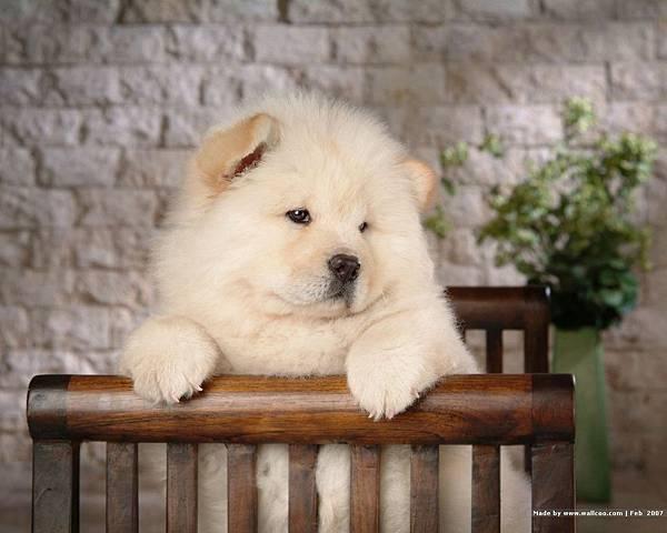 松獅犬-14.jpg