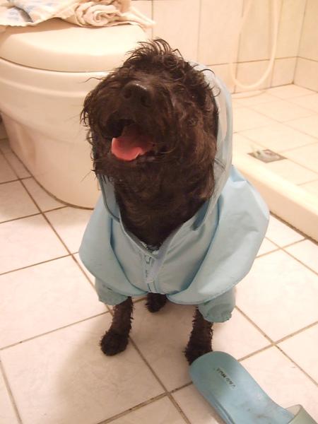 穿雨衣散步回來的笨蛙,知道等一下要洗香香咩?!
