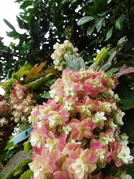 某戶人家種的大樹開的花