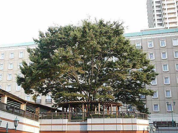我家車站前的大樹,背景是飯店。
