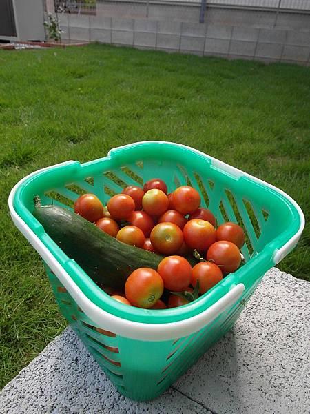 今天收成一堆蕃茄!