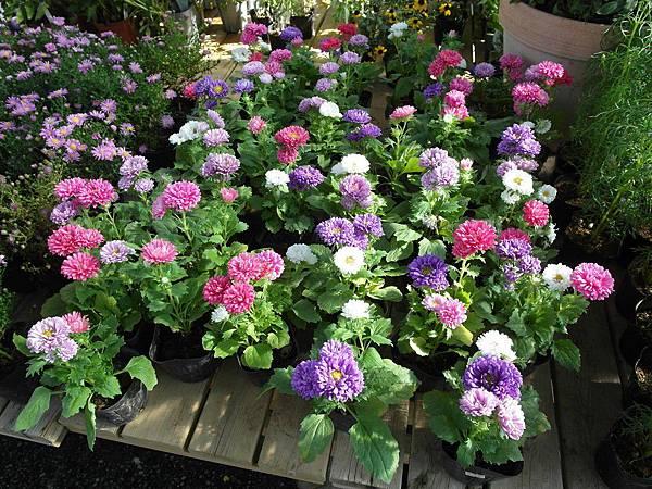 顏色很柔和可愛的菊花