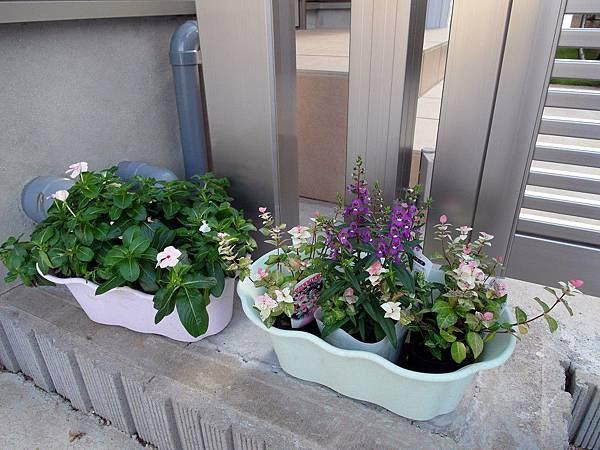 昨天買的花~左邊那盆會慢慢開喔,台灣也常看到,我買的有三種顏色,很期待。