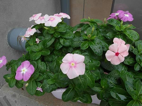 9/20 門口的小花開了三種顏色好古稚