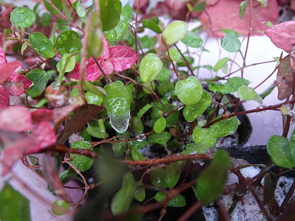 沾在葉子上的水也結成冰