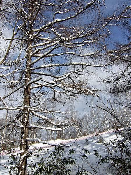 看著積在樹枝上的雪,總覺得有種人工粉沫的錯覺!