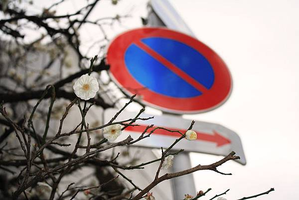然後又在某處轉角發現一棟盛開中的梅花樹