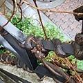 好厲害的樹根,不止街燈,連旁邊欄杆也被緊緊纏住共生了!