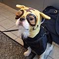 噗~ 帶老虎面罩的小狗  好可愛,但牠應該很無奈吧~都戴歪了