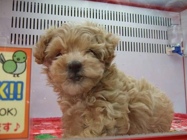 去寵物店想看看有沒有賣黑貴賓,結果意外看到隻小呆狗~!