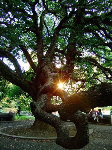 安田講堂右前方的一棵怪樹