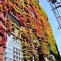 葉子爬滿這棟房子的牆,因為秋天  所以葉子紅了,真的很美