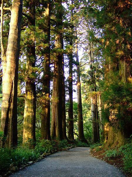這條蔭道的杉木有420棵,高大蔭鬱的老杉木們已活超過350年