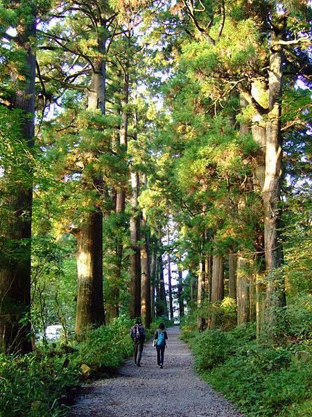 與車道才一線之隔,大家都在杉木們的守護之下安心地走著