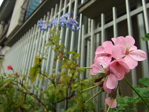 一直拍民宅旁的漂亮小花,有個婆婆和我打招呼,說是她種的,美吧