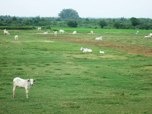 不時會經過一望無際的草原區,偶爾可見一群皮膚超白的瘦皮牛!