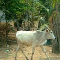 哦!柬埔寨的牛就是瘦得這麼令人心疼~