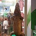 回到siem reap的街上路過一間站姿好好笑的鱷魚皮禮品店