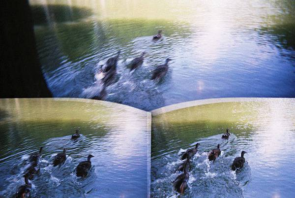 鴨子們衝超快的!笑死我了