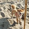 牠和yumi一樣也是柴犬唷,但真的還是yumi可愛!