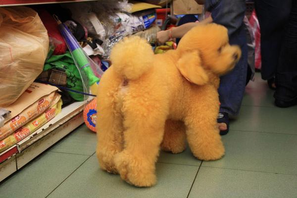 老闆說她是杏色貴賓犬生來就這色,但我覺得好詭異!