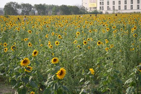 下午和塞門相約花田拍照,向日葵幾乎已經盛開了呢
