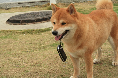 在公園遇到一隻用犬齒叼手機的胖嘟嘟柴犬