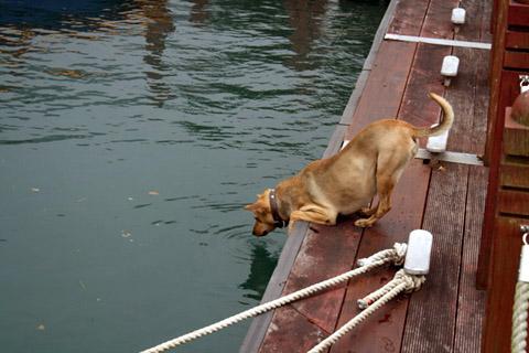 伊達郡碼頭邊 有隻小狗正伸長脖子在喝水