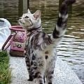 巧遇一隻很像大理石卷的貓咪
