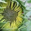 近看有點噁心的含苞待放向日葵+小瓢蟲的背影