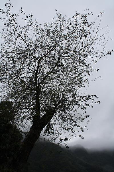 車埕火車站附近的一棵樹,今天下雨霧霧地反而別有一番味道