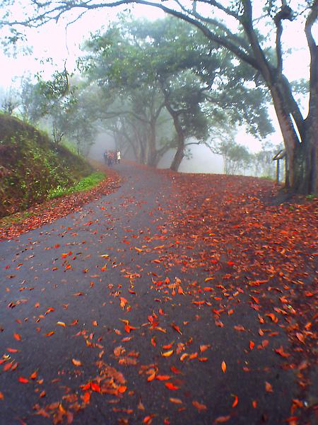 茶改所往貓囒山步道一景,橄欖樹落葉遍佈像楓紅般美麗