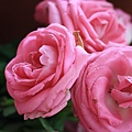 7/10 前幾天為了我媽生日頭一次買了玫瑰...趁快凋謝前拍一下