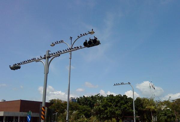 今天有夠熱有夠熱!可是回家路上竟然看到一堆鴿子在紅綠燈上排排站~太可愛了