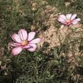 每次都在冬天栽種波斯菊和向日葵,今年過年可以預見又有賞花人潮了吧