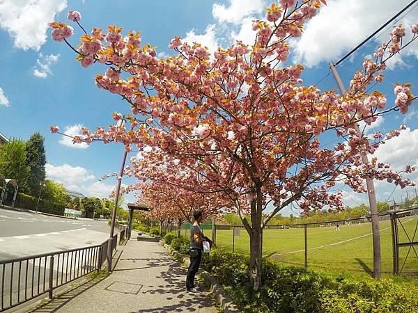 京都八重櫻