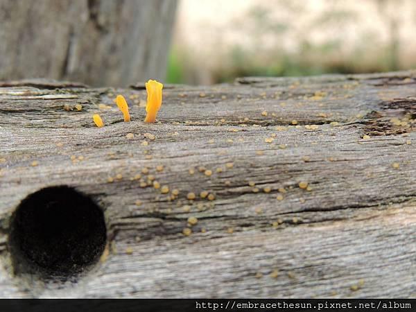 s-枯木上的小黃菇