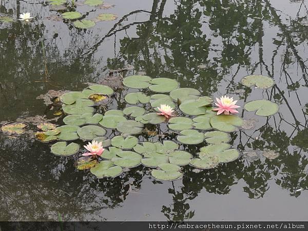 生態池中的睡蓮