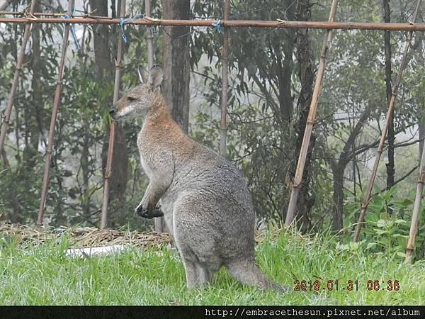 kangaroo 2.JPG