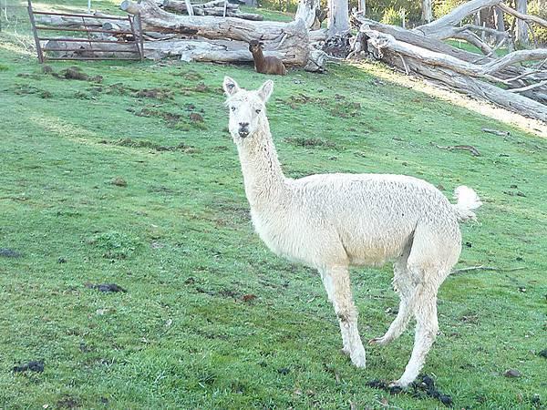 聽說現在叫草泥馬的羊駝