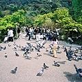 圓山公園裡的鴿子