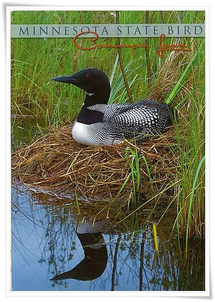 Minnesota state Bird.jpg