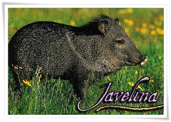 Javelina.jpg