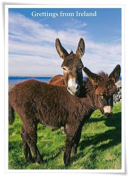 愛爾蘭 驢.jpg