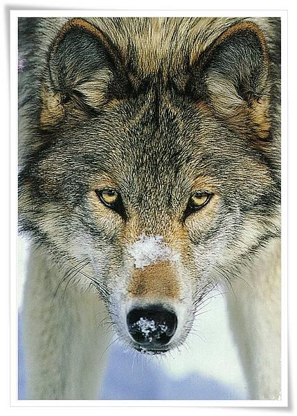 DE wolf.jpg
