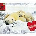 加拿大 北極熊1
