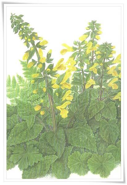 黃花鼠尾草