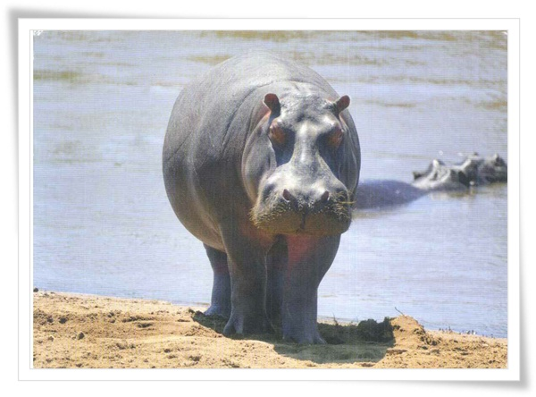 hippo am Mara river