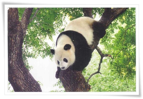 中國大熊貓