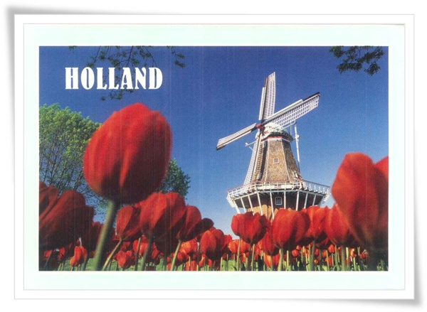 holland tulip